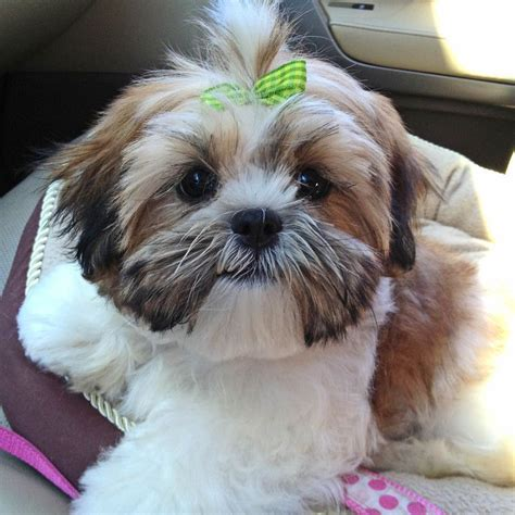 how to cut hair on a shihpoo shih tzus first haircut first beauty visit teddy bear