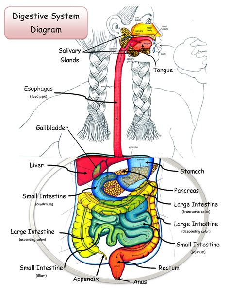 digestive system diagram what should we eat take a look at which digestive track