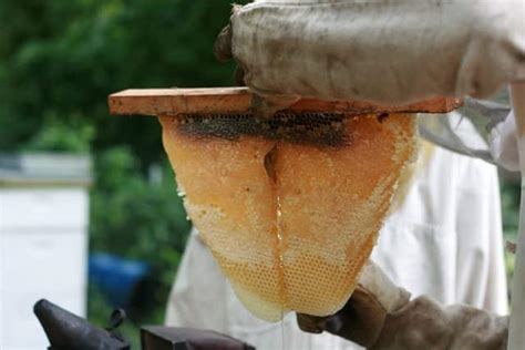harvesting honey from a top bar hive spring honey harvest schneiderpeeps