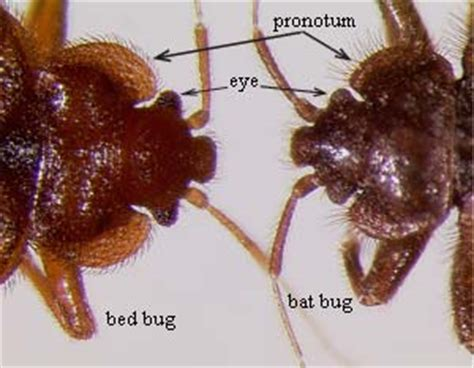 bat bug vs bed bug bat bugs vs bed bugs what are you dealing with