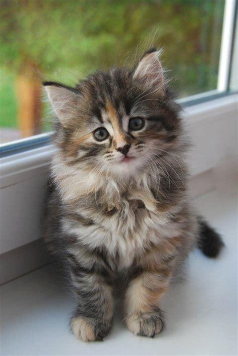 Keranjang Untuk Kucing kucing comel untuk d jual kucing kacukan siam untuk di