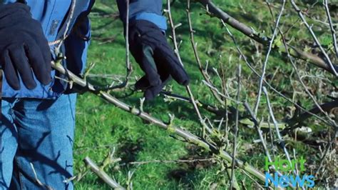 pruning fruit tree fruit tree pruning episode 2 hort news