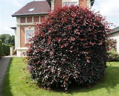 Roter Fächerahorn Kaufen by Arbuste 224 Feuilles Rouges 18 Id 233 Es Pour Embellir Le Jardin