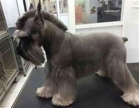 different haircuts for a miniature schnauzer de 20 b 228 sta id 233 erna om dog haircuts p 229 pinterest