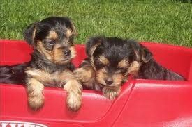 yorkie puppies for sale in hattiesburg ms purebred maltese puppies for sale hattiesburg ms asnclassifieds