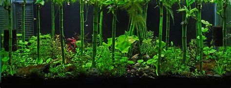 Bamboo Aquascape by Quot Bamboo Forest Quot Planted Tank Aquariums