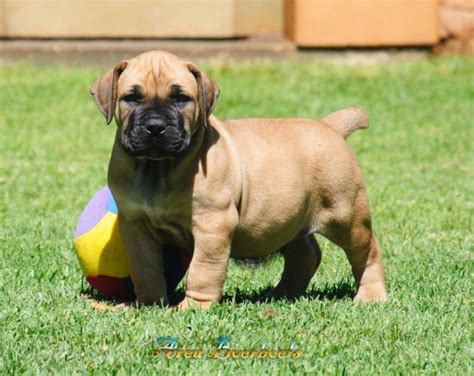 boerboel puppies price most expensive breeds that make you think omg