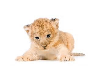 Fotos de leones cachorros