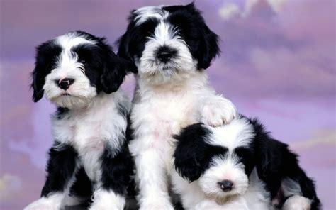 puppies puppies adorable puppies puppies wallpaper 22289899 fanpop