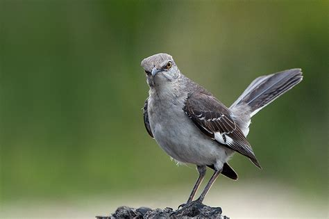 pin by jose miguel cordero on northern mockingbird pinterest