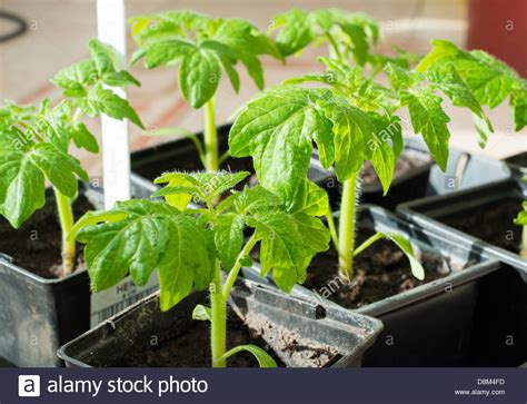 Pot Plant Baby baby tomato plants in pots stock photo 56990961 alamy