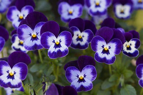 wallpaper bunga violet gambar menanam ungu daun bunga berkembang biru