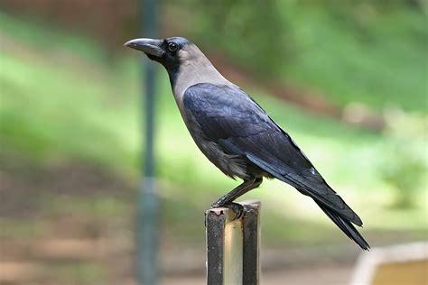 information about crow bird