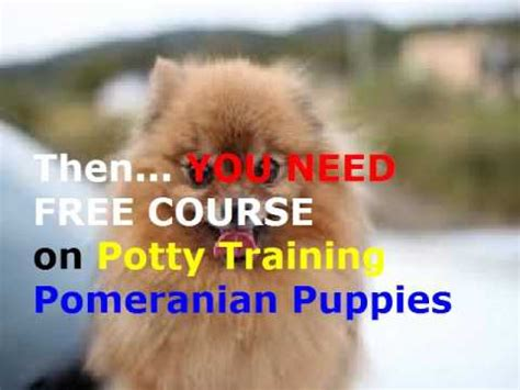 how to potty a pomeranian how to potty a pomeranian puppy fast best free course pomeranian puppy potty