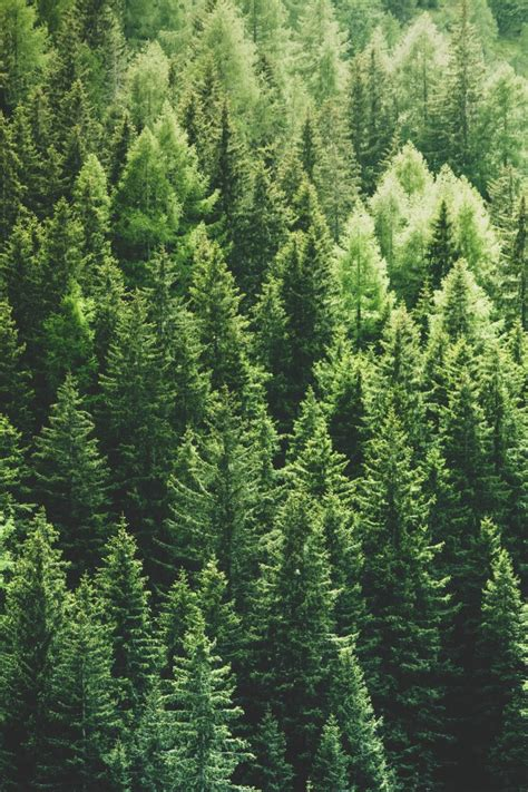 wallpaper pine trees forest top view wallpapermaiden
