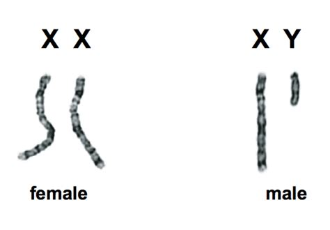 Sex, genes, the Y chromosome and the future of men Y Chromosome Number