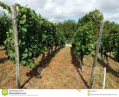 Grape Garden by Grape Garden Stock Photo Image 64028274