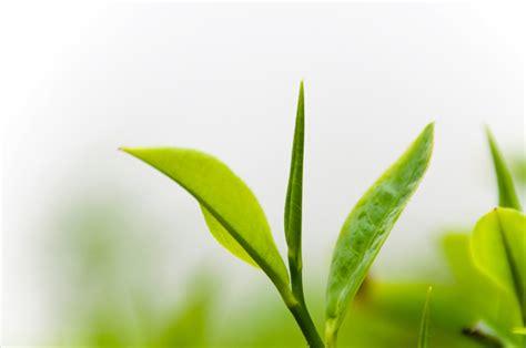 Teh Hijau Kering manfaat daun teh hijau