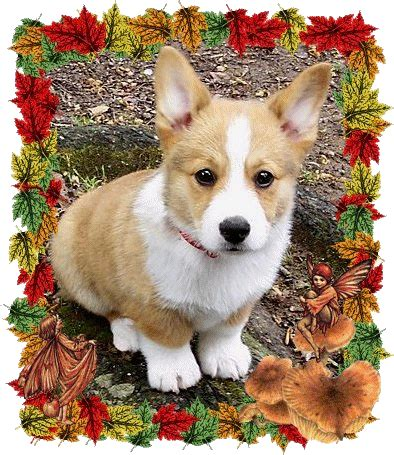 corgi puppies raleigh nc cardigan corgis for sale in sweater