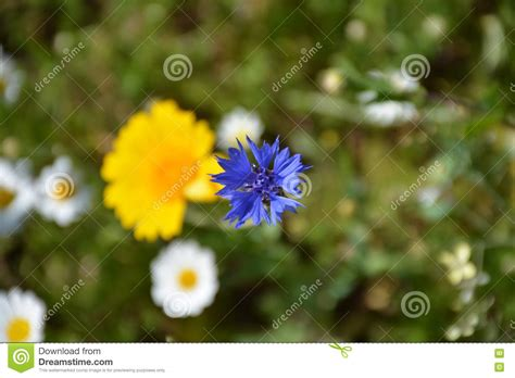 Pink Flower 4in1 flowers white blue and yellow stock photo cartoondealer 43821324