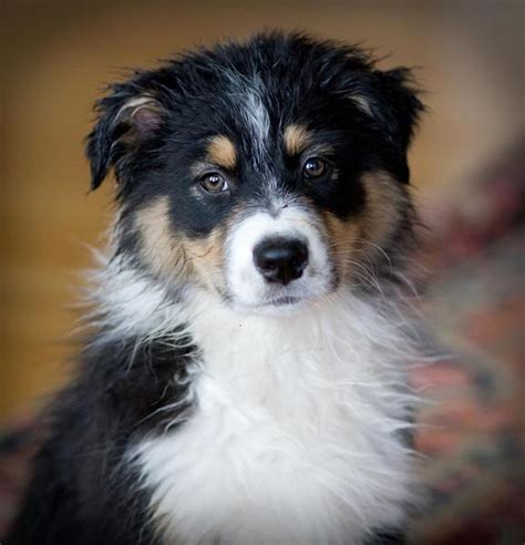 how much are australian shepherd puppies australian shepherd puppy in three colors jpg hi res 1080p hd