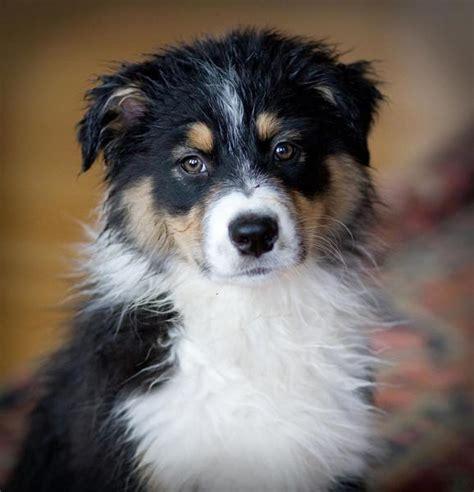 australian shepherd puppy cost australian shepherd puppy in three colors jpg hi res 1080p hd