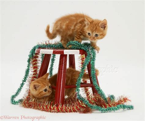 Kitten Has Stools by Tabby Kittens With Tinsel And Child S Stool Photo