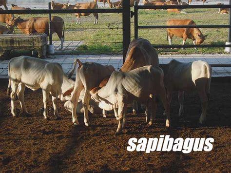 Bibit Sapi Jawa indonesia naikkan ukuran berat sapi impor sapibagus