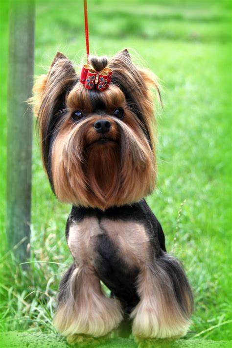yorkie stud miniature terrier for stud kc registred rotherham south