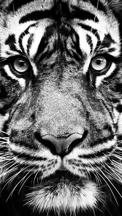 Wallpaper Iphone Tiger | white tiger wallpaper amazings 2320 hd wallpaper site