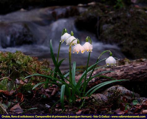 fiori di montagna primaverili fiori di montagna orobie