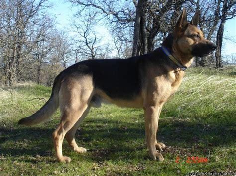 purebred german shepherd puppies purebred german shepherd puppies 697871 best price pynprice
