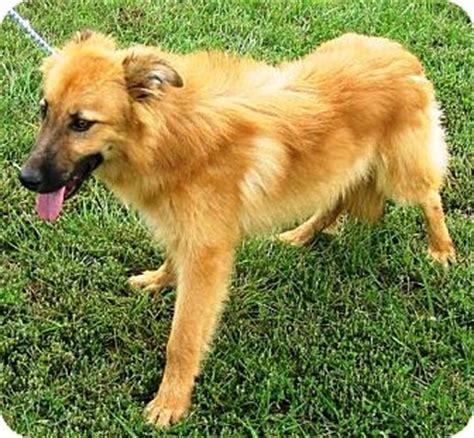 sheepdog mixed with golden retriever pet not found