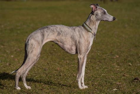 whippet breed whippet history personality appearance health and pictures