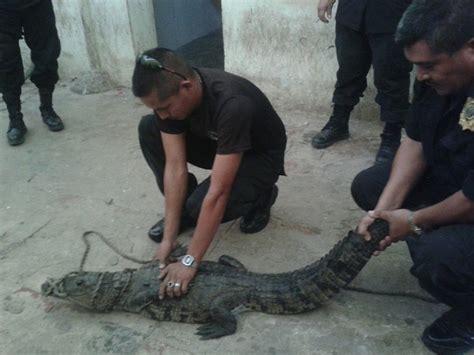 policias ladrones y cocodrilos atrapan polic 237 as de hecelchak 225 n a cocodrilo