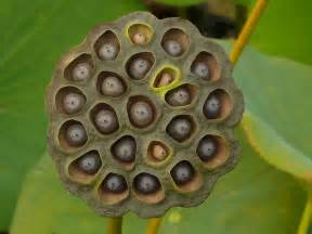 Lotus Seed Pod Photoshop What Are You Afraid Of 19 Phobias Revealed
