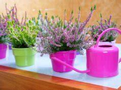 Sommerheide Pflege by Heidekraut Pflanzen Und Pflegen So Wird S Gemacht