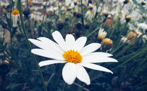 imagenes tumblr margaritas flores naturales tumblr