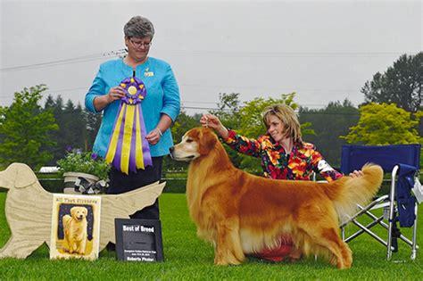 abelard golden retrievers goldenhills golden retrievers www goldenhillsgoldens