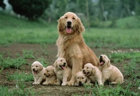 when can puppies leave their 40 amazing pictures of big dogs with their small puppies
