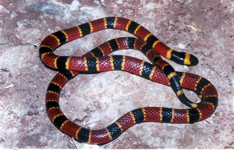 Color Pattern Of Coral Snake | camouflage and mimetism