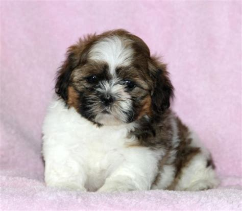 shih tzu dogs personality excellent temperament shih tzu puppies craigspets