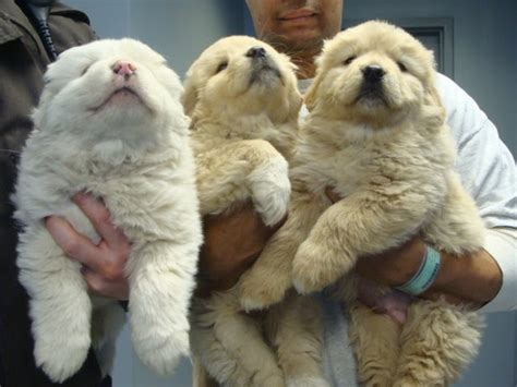 big fluffy dogs big fluffy rescue 125 dogs 6 weeks