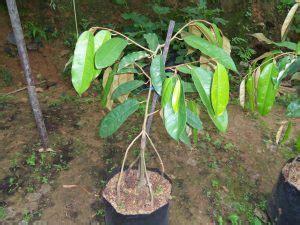 Bibit Pisang Cavendish Di Bali 8 cara budidaya durian di perkarangan rumah tips
