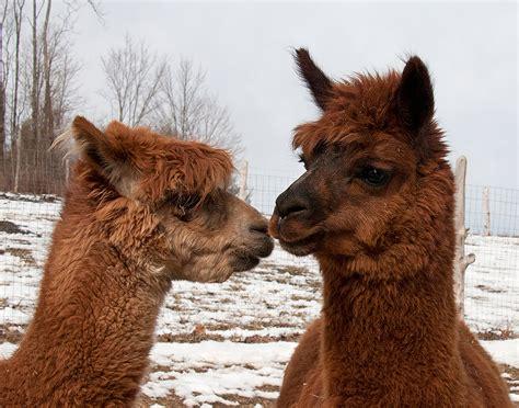 llamas  alpacas gloriafreund
