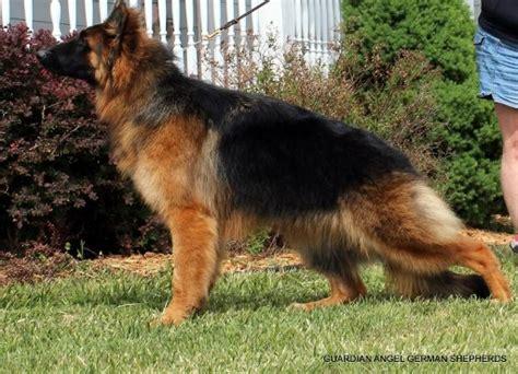 german shepherd puppies for sale in kansas german shepherd puppies german shepherd breeder coat german shepherd ks