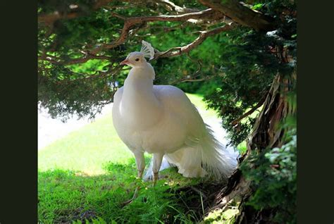 white peacock background earthly wallpaper p