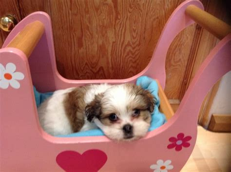 maltese shih tzu pups for sale 4 shih tzu maltese cross puppies for sale richmond