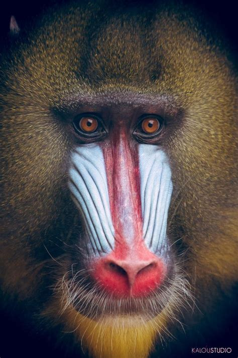 baboon images  pinterest monkeys animales  baboon