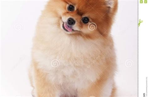show me pictures of pomeranians tag for show me pictures of pets summer skin cancer dangers for pets animal